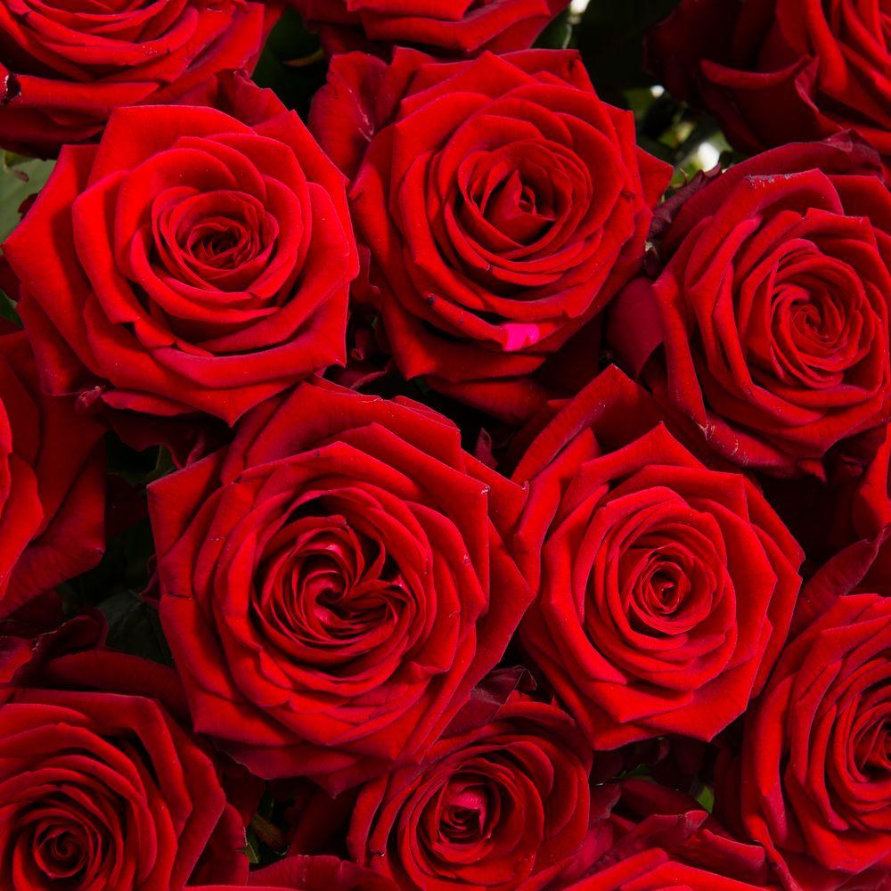 Rose du dernier adieu