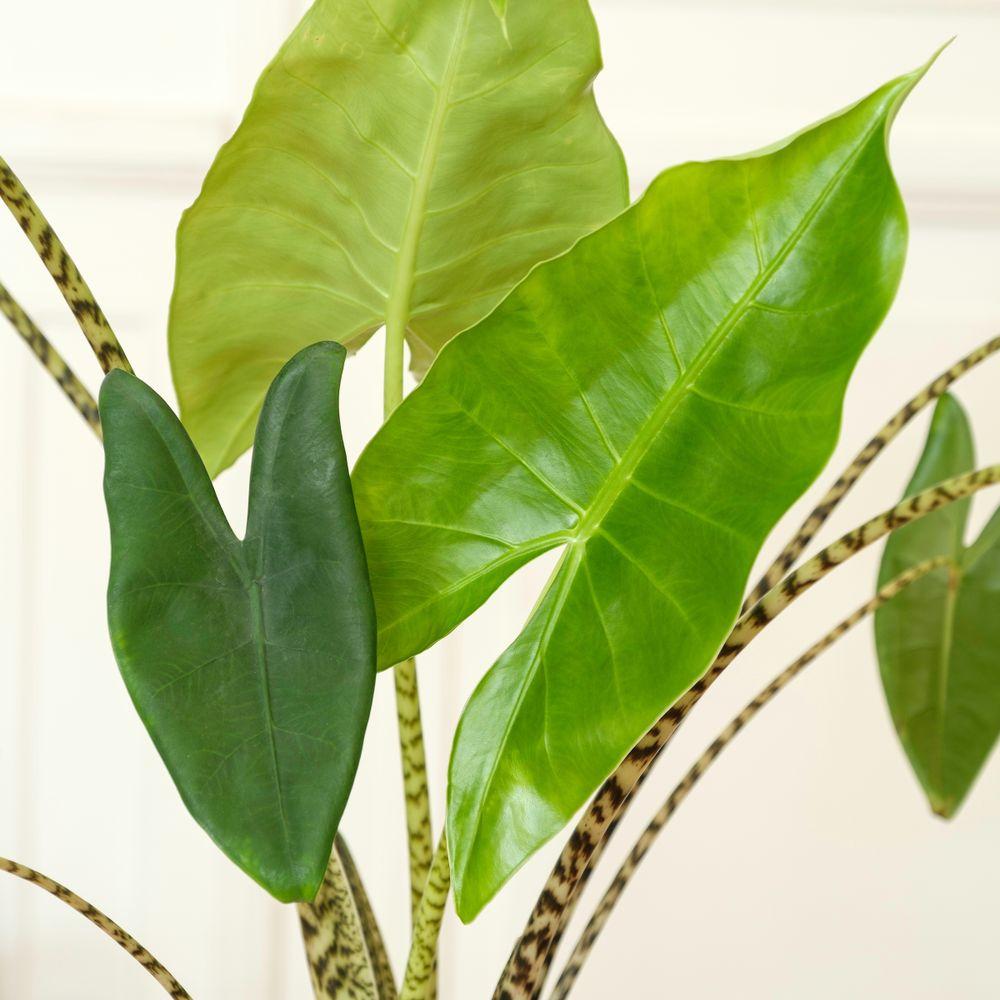 Alocasia Zebrina et son cache-pot