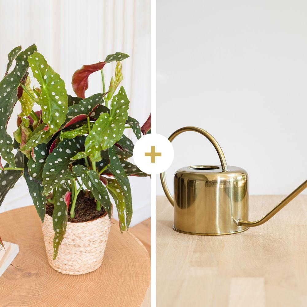 Begonia Maculata et son arrosoir doré