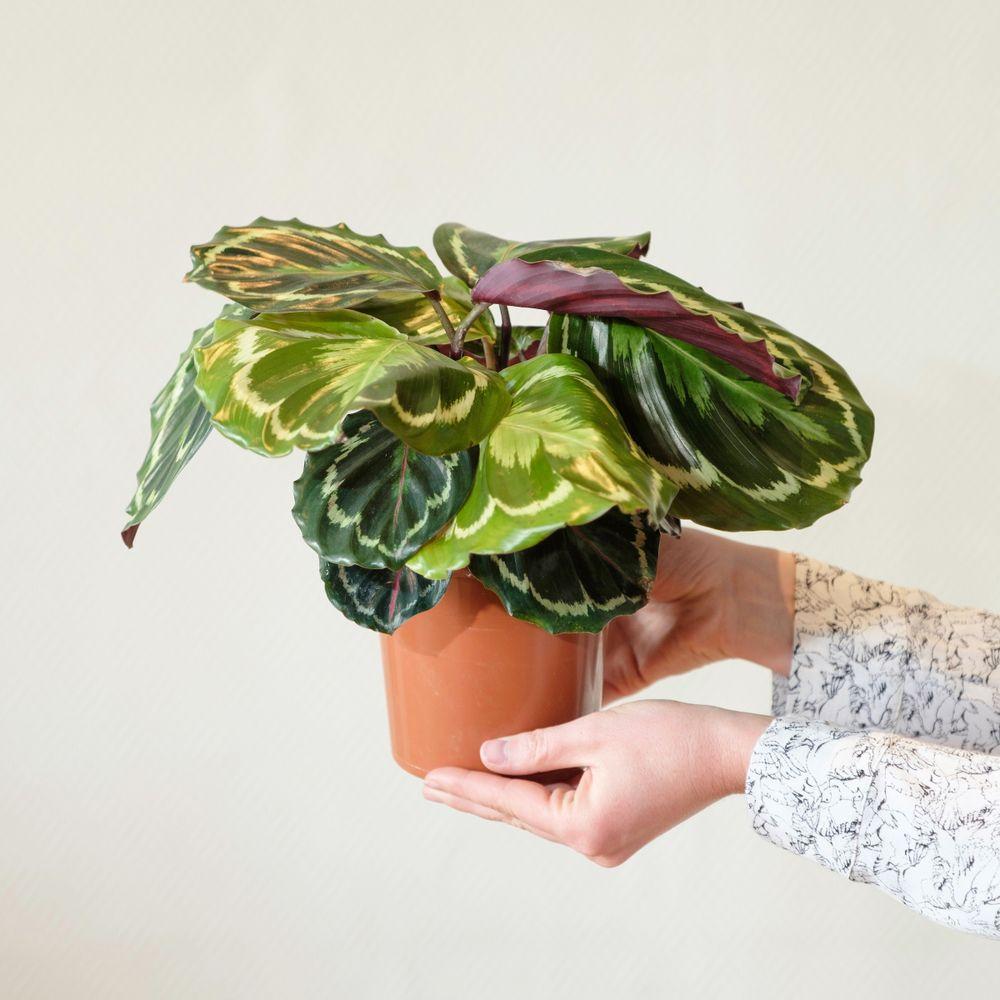 Calathea Medaillon et son cache-pot