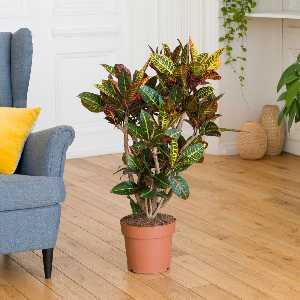 Croton et son cache-pot
