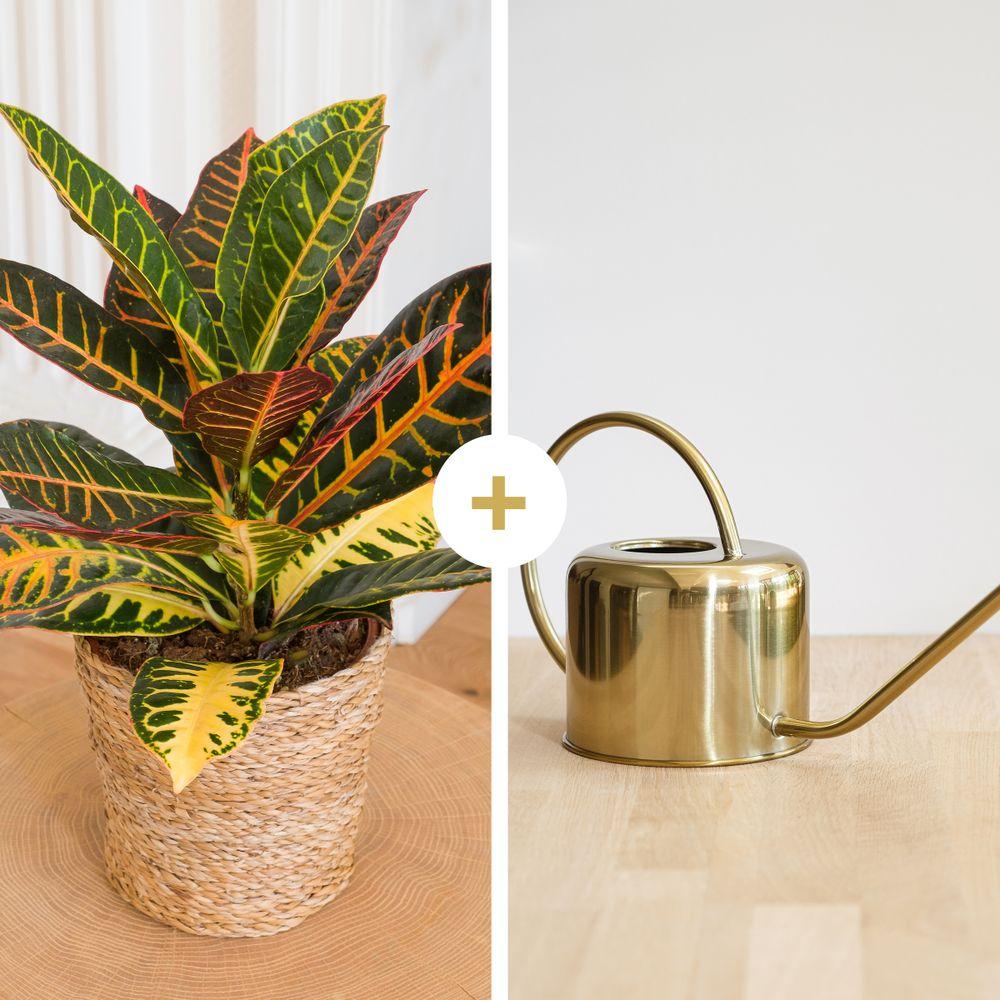 Croton et son arrosoir doré