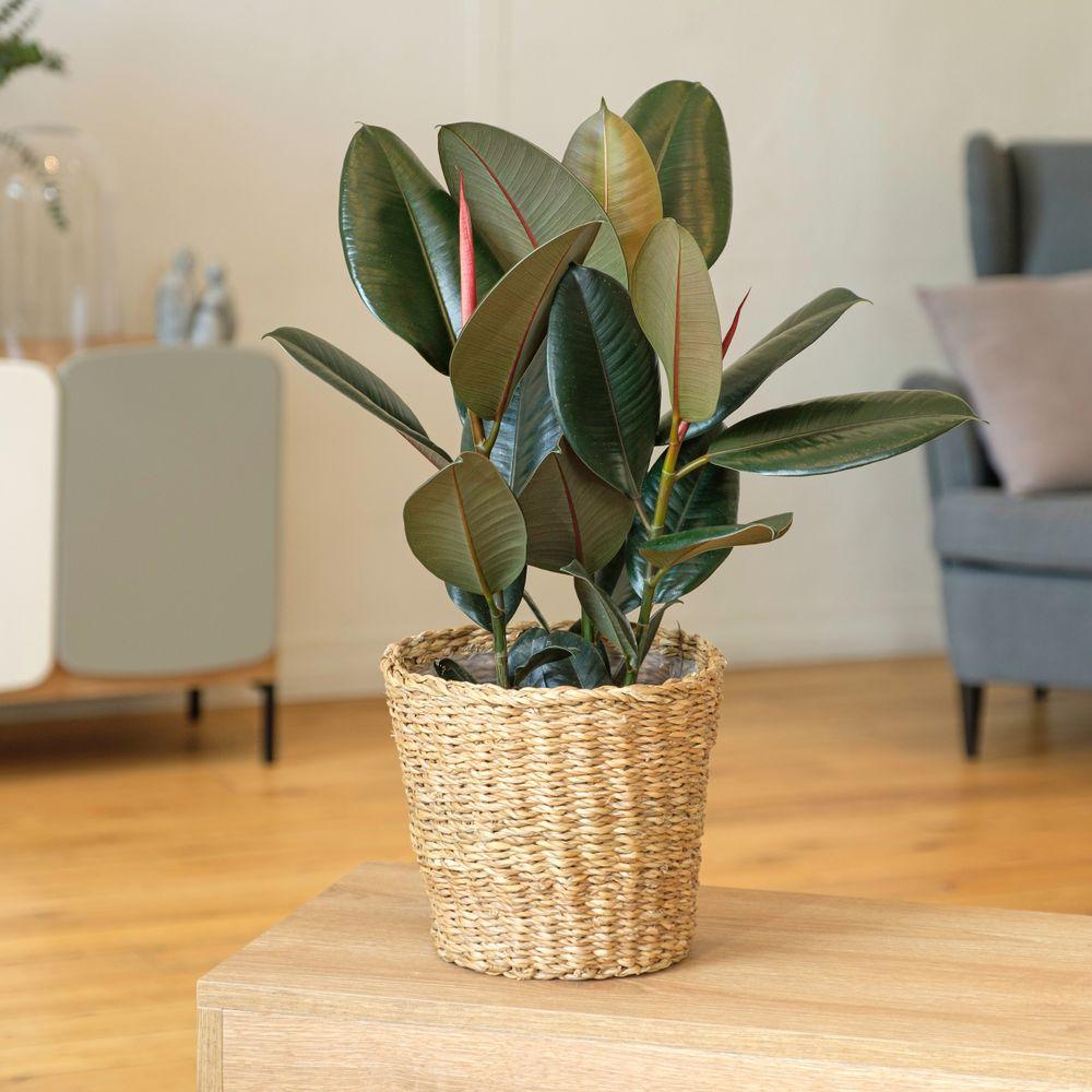 Ficus Elastica Abidjan et son cache-pot