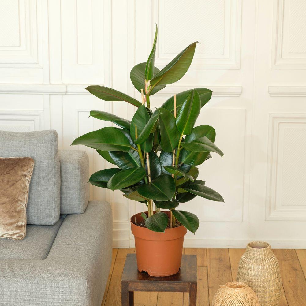Ficus Elastica Robusta et son cache-pot