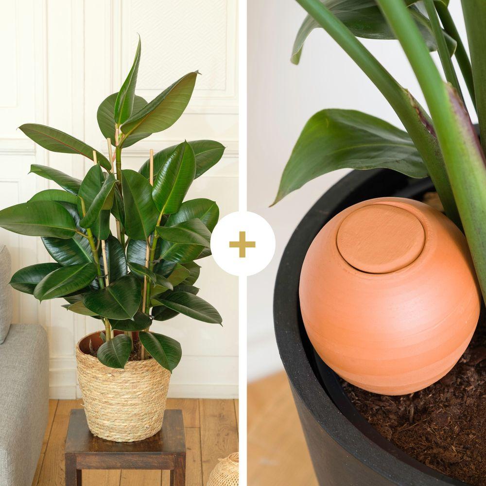 Ficus Elastica Robusta et son oya