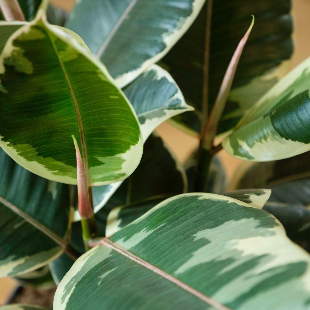 Ficus Elastica Tineke et son cache-pot