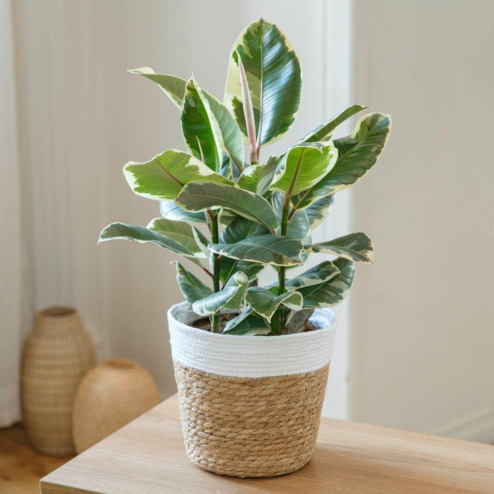 Ficus Elastica Tineke
