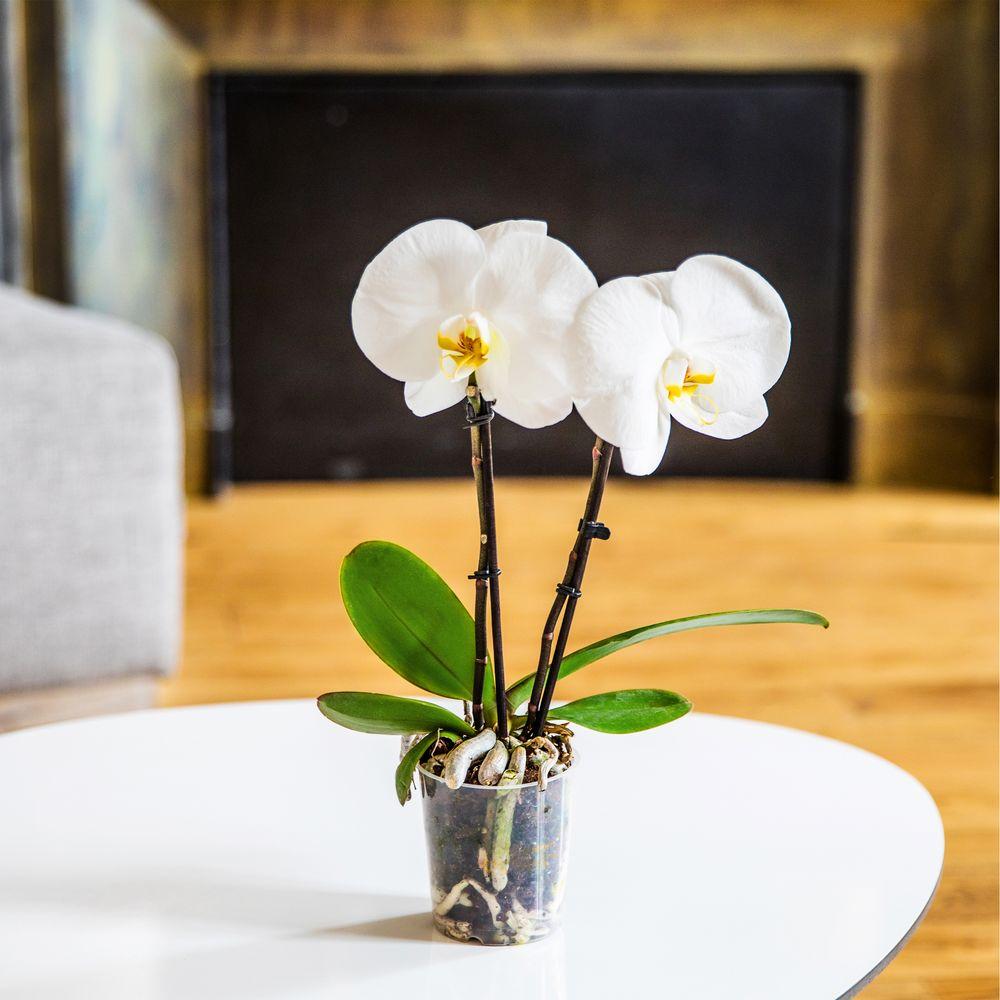 Phalaenopsis Singolo + cache pot
