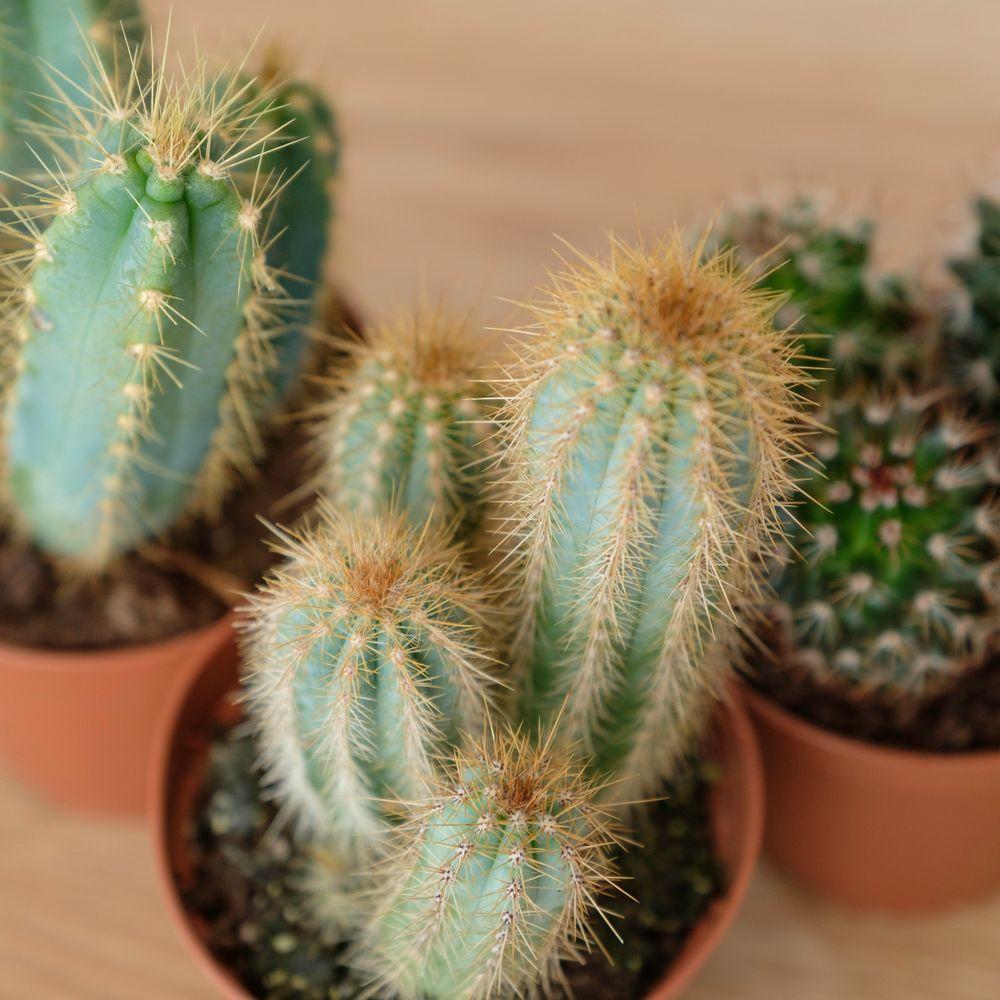 Trio de Cactus et leurs cache-pots