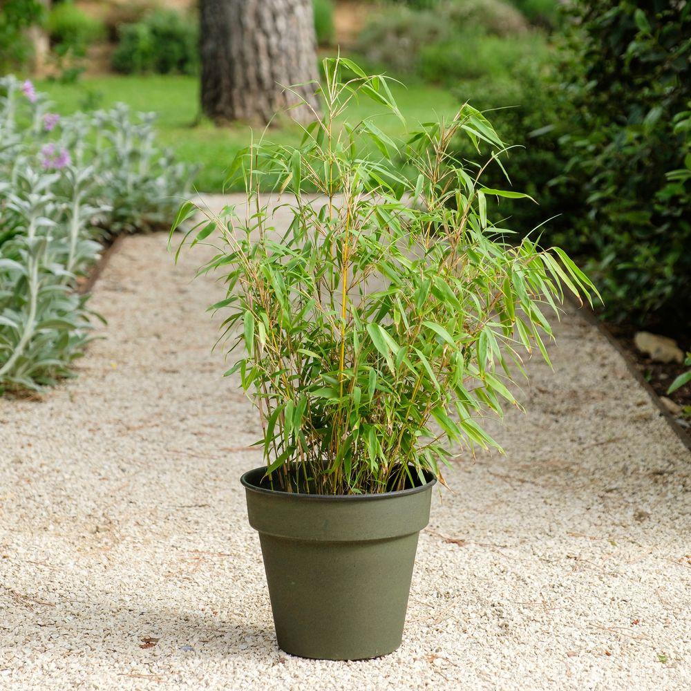 Bambou Fargesia et son cache-pot