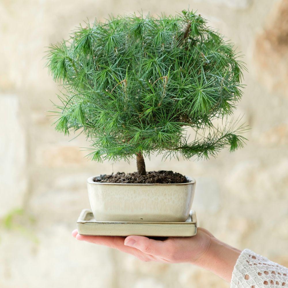Bonsaï Pinus Tree