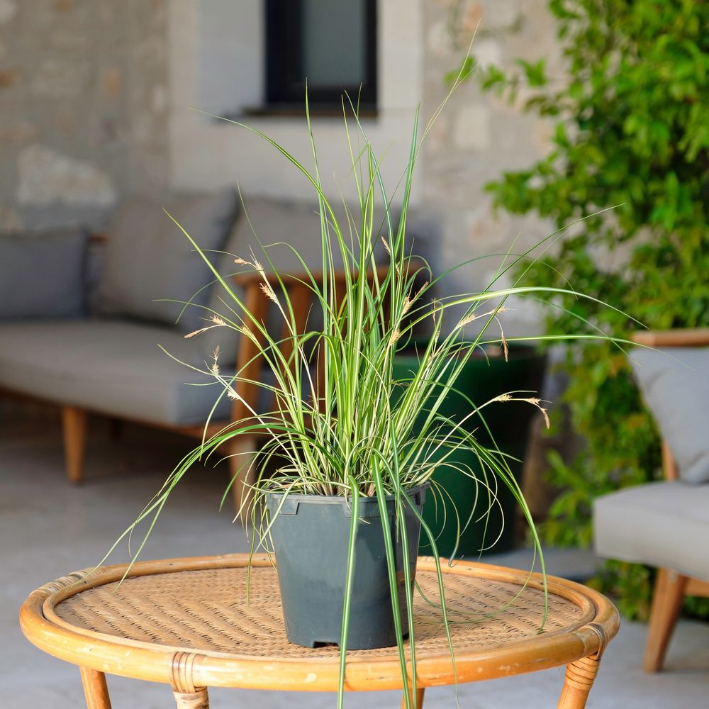 Carex et son cache-pot