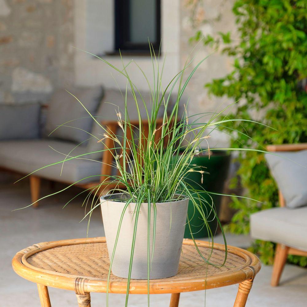 Carex