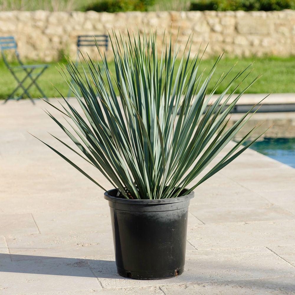 Yucca Rostrata et son cache-pot