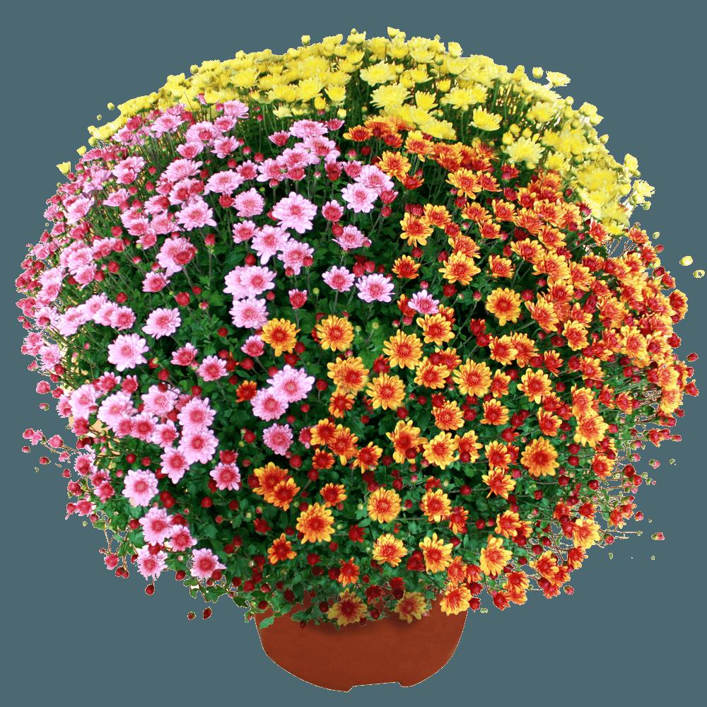 Chrysanthème multicolore petites fleurs