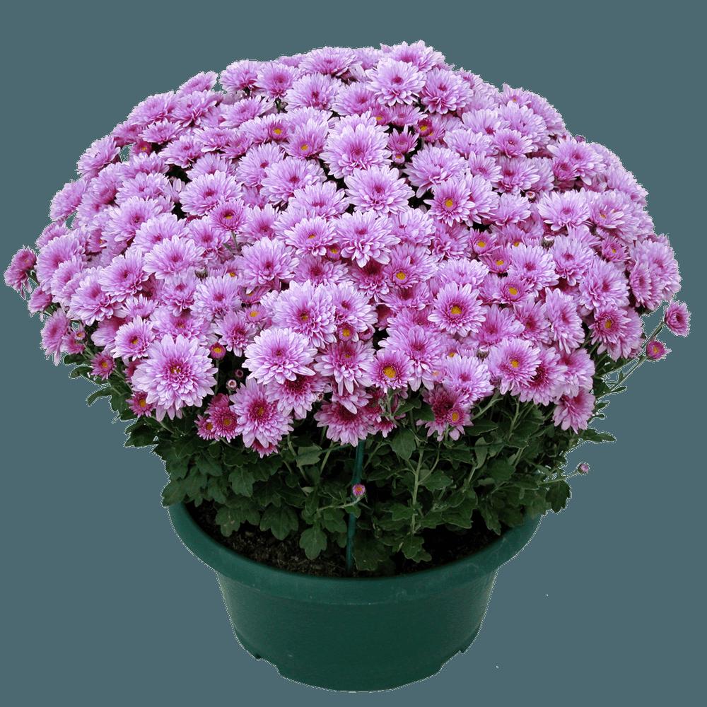 Chrysanthème unicolore petites fleurs