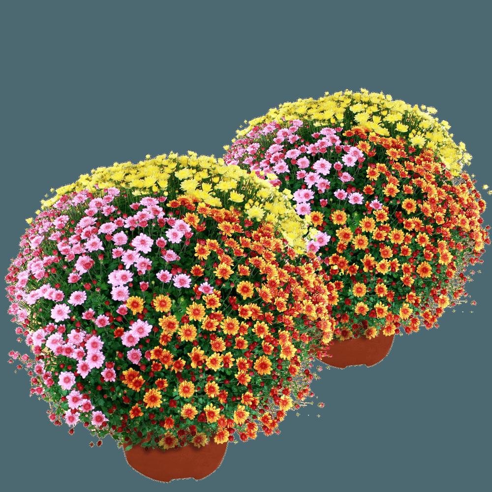 Duo de chrysanthèmes multicolores petites fleurs