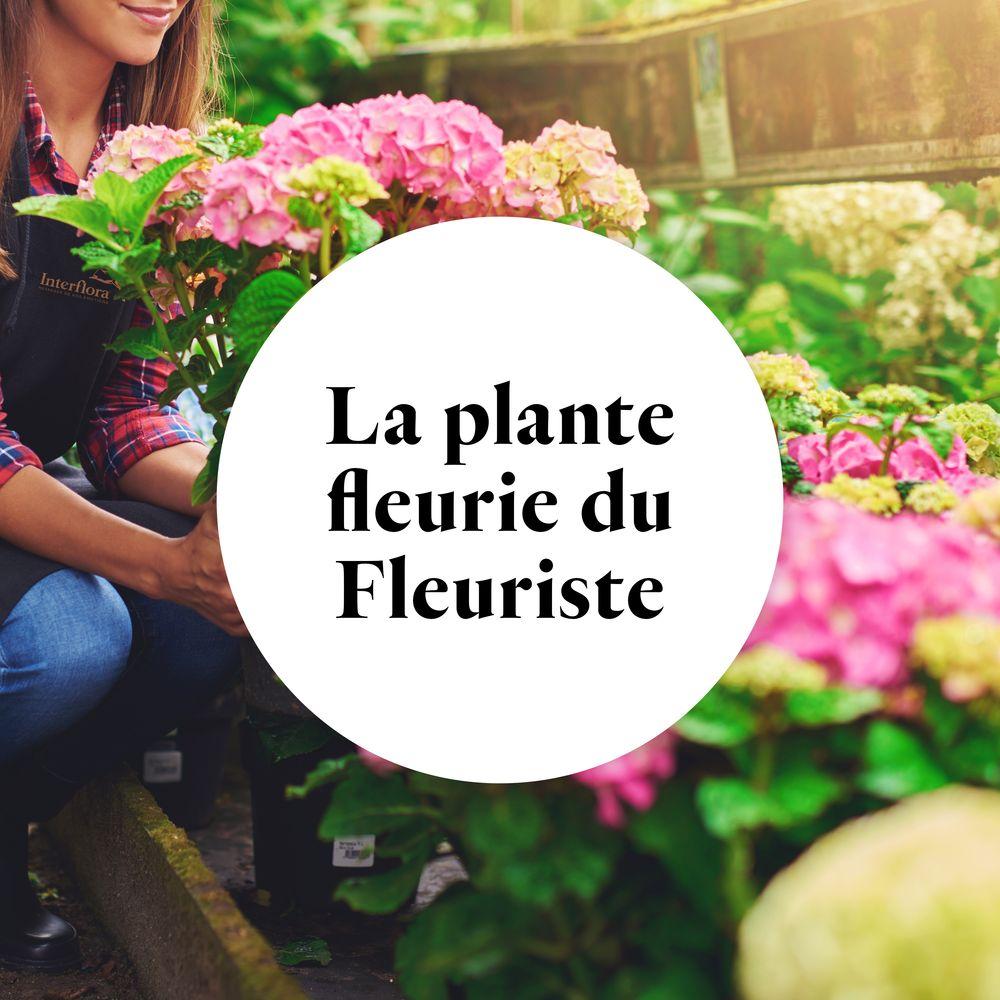 La plante fleurie du fleuriste
