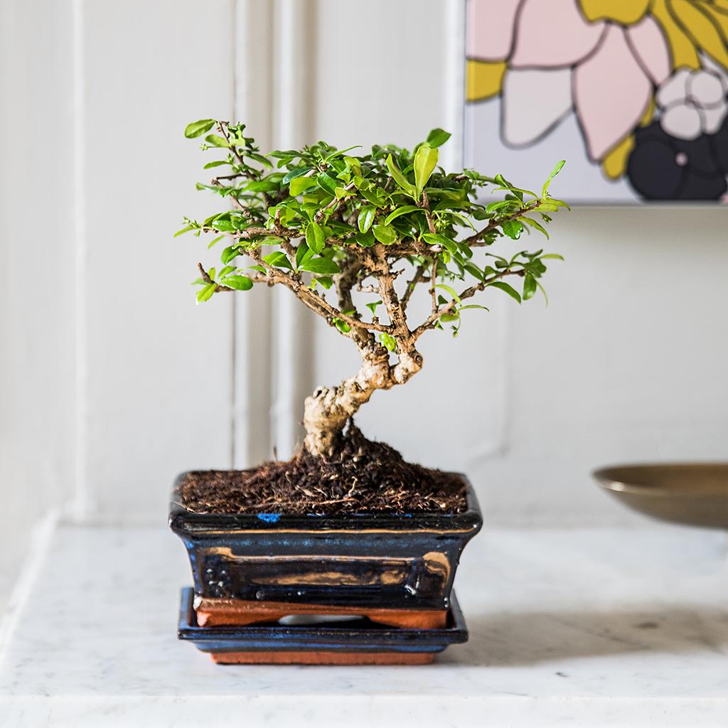 Le bonsaï carmona pour un spectacle grandiose
