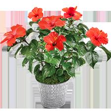 Plantes vertes et fleuries Hibiscus rouge