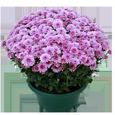 Bouquet de fleurs Chrysanthème unicolore petites fleurs