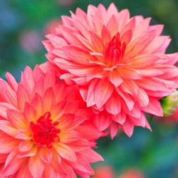 langage des fleurs symbole des fleurs interflora. Black Bedroom Furniture Sets. Home Design Ideas