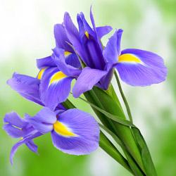 Langage des fleurs symbole des fleurs interflora - Langage des fleurs iris ...