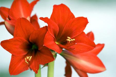 Livraison de plantes plante verte ou fleurie interflora for Amaryllis gel