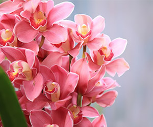 Les caractéristiques de l'orchidée cymbidium