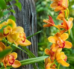 L'entretien de l'orchidée cymbidium