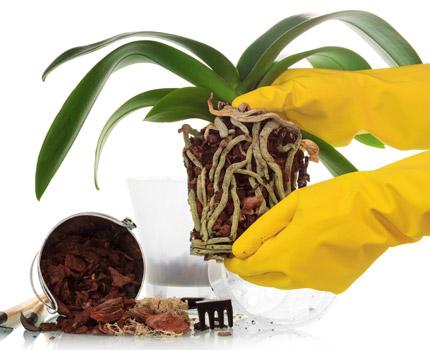 Le rempotage de l'orchidée