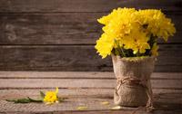 Chrystanthèmes jaunes