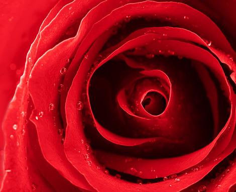 La rose rouge, symbole de l'Amour