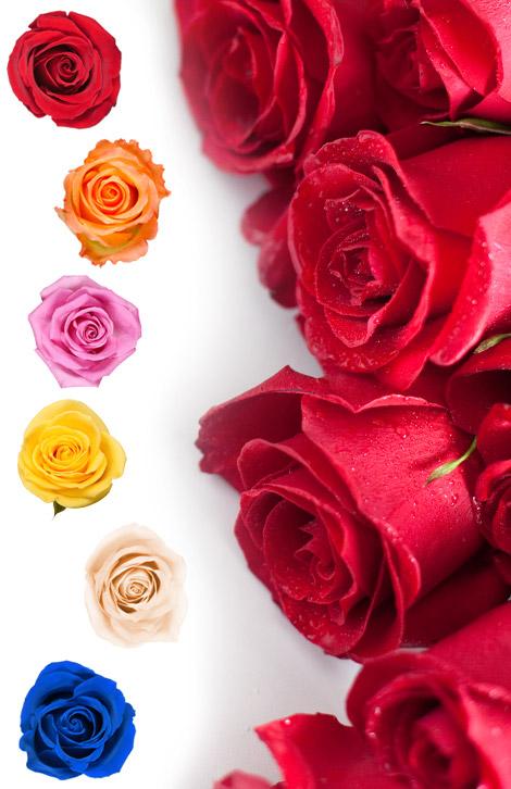 Langage Des Roses Signification Nombre De Roses Interflora Mobile