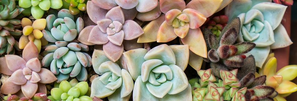 Qu'est ce qu'une plante grasse ?