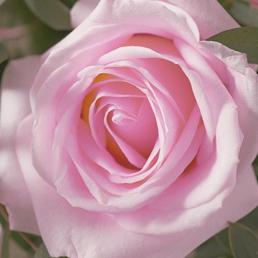 Bouquet de roses Alchimie rose