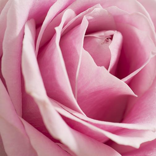 Bouquet de roses Capri rose