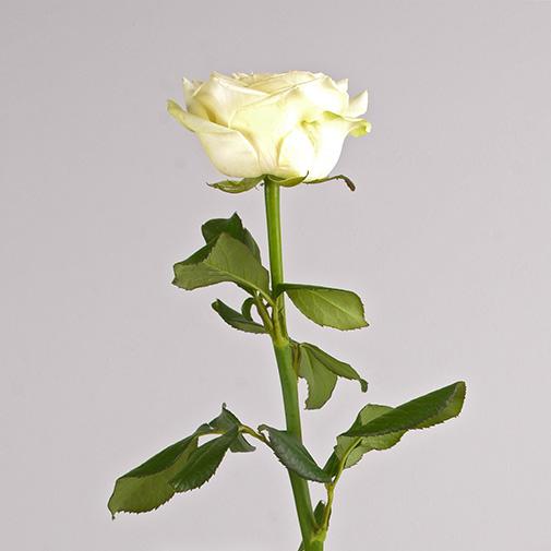 Bouquet de roses Rose blanche et son champagne Devaux