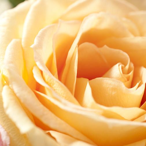 Bouquet de roses Sentiment et sa bougie parfumée Interflora par Esteban