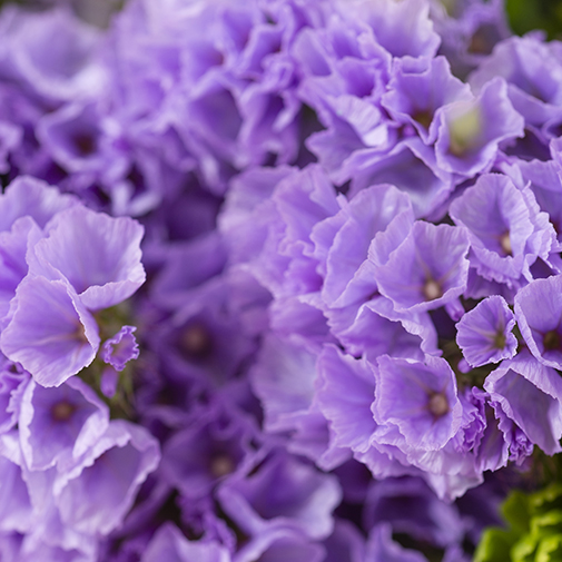 Composition florale Chérubin