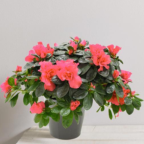 Plantes vertes et fleuries Azalée
