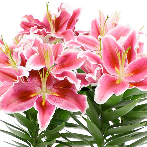 Plantes vertes et fleuries Lys