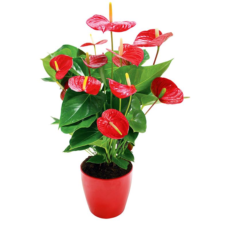 Anthurium plante graphique rouge interflora for Plante 4 images 1 mot