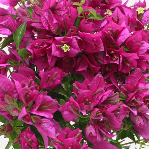 Bougainvillier et son cache pot interflora for Fleuriste livreur