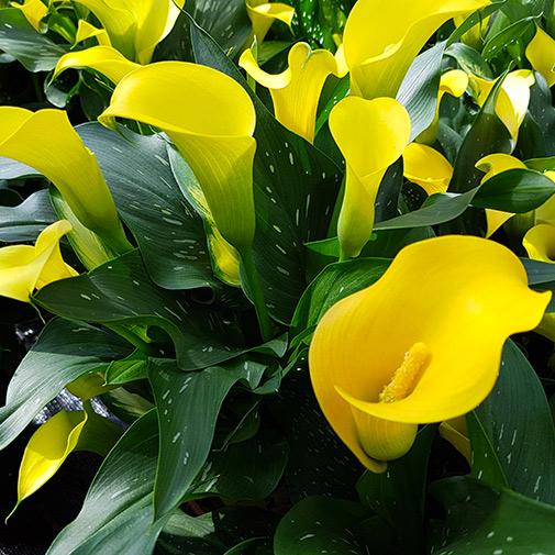 Plantes vertes et fleuries Callas