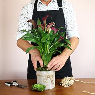 Plantes vertes et fleuries Calla