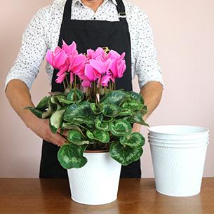 Plantes vertes et fleuries Cyclamen rose Fête des Célibataires