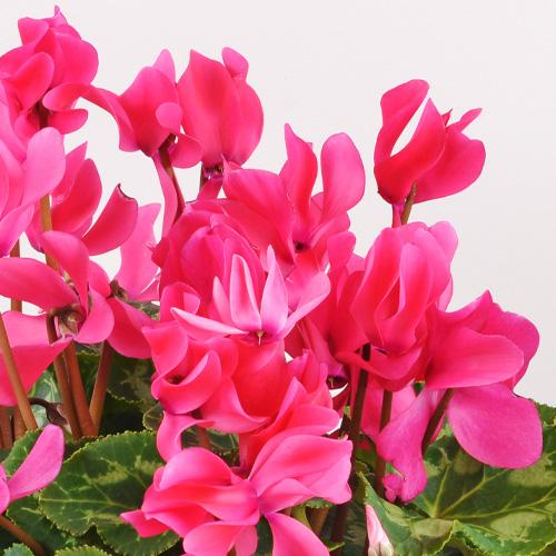 Plantes vertes et fleuries Cyclamen rose