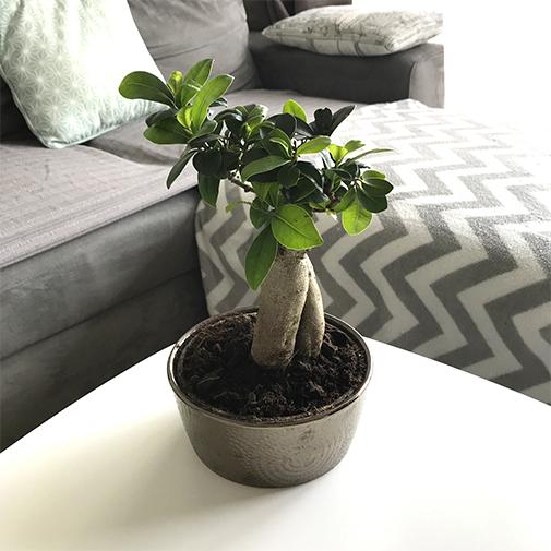 Plantes vertes et fleuries Ficus ginseng