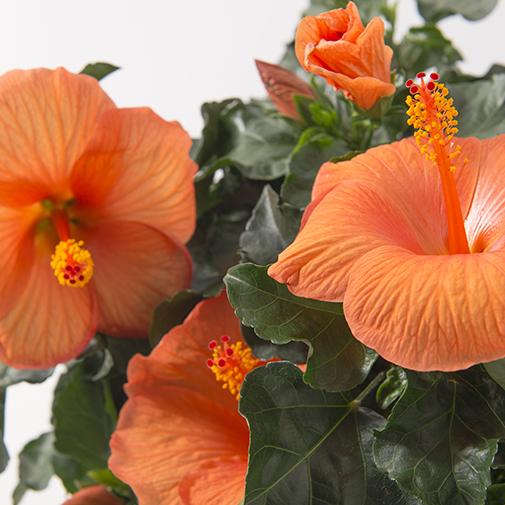Plantes vertes et fleuries Hibiscus